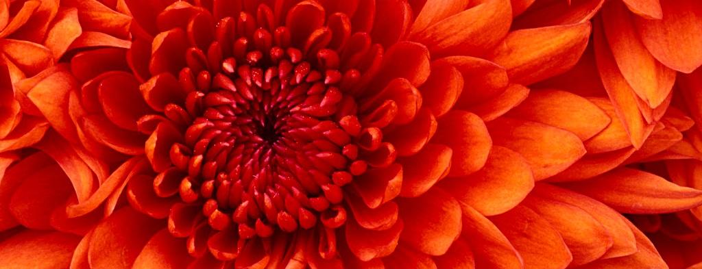 Chrysantheme_bandeau