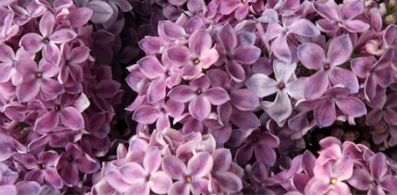 Fleur fétiche : le lilas