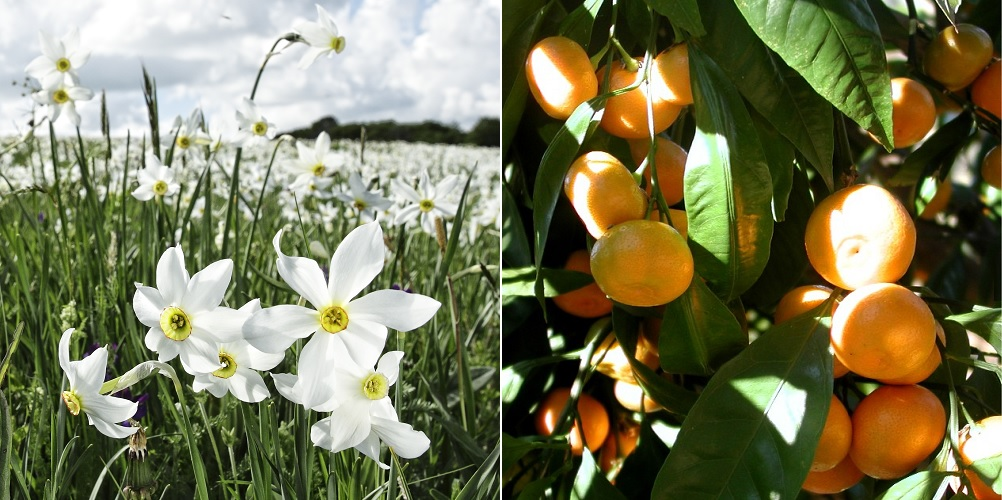narcisse et mandarine